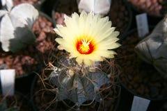 Blommande kaktus Fotografering för Bildbyråer