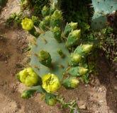 Blommande kaktus i en öken Royaltyfri Foto