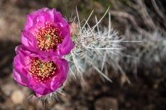Blommande kaktus med två rosa blommor i Grand Canyon, USA Arkivbilder