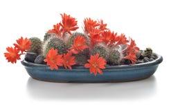 Blommande kaktushouseplant som isoleras på vit bakgrund Fotografering för Bildbyråer