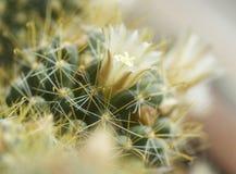 Blommande kaktusmammilyariya Arkivfoton
