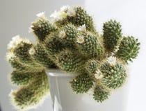 Blommande kaktusmammilyariyaspridning Royaltyfria Foton