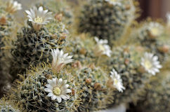 Blommande kaktusmammilyariyaspridning Royaltyfria Bilder