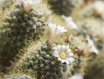Blommande kaktusmammilyariyaspridning Fotografering för Bildbyråer