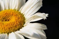 Blommande kamomill, selektiv fokus Arkivfoton