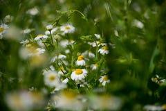 Blommande kamomillfält Kamomill i vinden royaltyfri fotografi