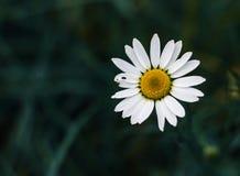 Blommande kamomillfält, kamomillblommor Naturlig växt- behandling royaltyfria bilder