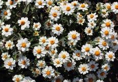 Blommande kamomillfältbakgrund Arkivbilder