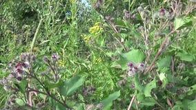 Blommande kardborre i sommarfältet Arctium Hd video arkivfilmer