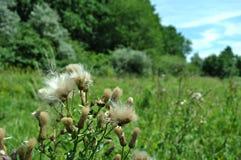 Blommande kardborre mot bakgrunden av den gröna skogen och gräs Arkivfoto
