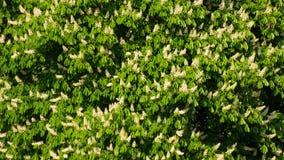 Blommande kastanjebruna träd Royaltyfri Foto