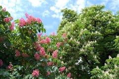 Blommande kastanjebruna träd Arkivbilder