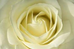 Blommande knopp av ljust - gult rosa slut upp arkivbild