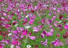 Blommande kosmos blommar i många skuggor av rosa färger i det gröna fältet Arkivbilder