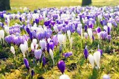Blommande krokus blommar i parkera Arkivfoto