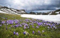 Blommande krokusar i det snöig berget Royaltyfri Foto