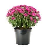 Blommande krysantemum i blomkruka Fotografering för Bildbyråer
