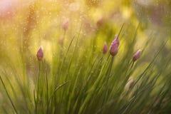 Blommande lök i solnedgången Nalchik arkivfoton