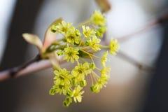 Blommande lönn Trädfilial med gula blommor slapp fokus Vårnaturlandskap grunt djupfält Arkivfoton