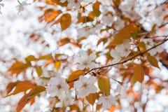Blommande lös körsbärsröd blomning Royaltyfri Bild