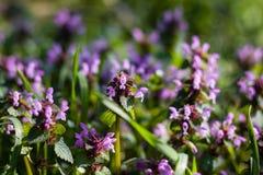 Blommande lösa blommor på ängen på vårtid Gräsplan lila Arkivfoto