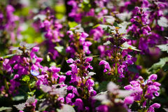 Blommande lösa blommor på ängen på vårtid Gräsplan purpl Royaltyfria Bilder