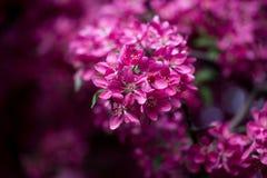 Blommande löst äpple Royaltyfria Bilder