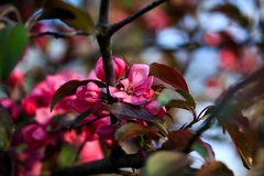 Blommande löst äpple Arkivbilder