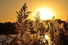 Blommande löst gräs i guld- solnedgång Royaltyfria Foton