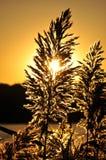 Blommande löst gräs i guld- solnedgång Royaltyfri Foto