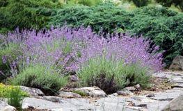 Blommande lavendel på rockeryen Royaltyfri Foto