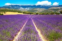 Blommande lavendelfält Frankrike Provence Arkivfoton