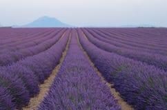 Blommande lavendelfält i Provance Royaltyfria Bilder