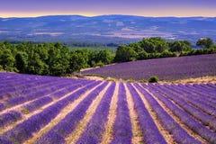 Blommande lavendelfält i Provence, Frankrike Arkivbilder