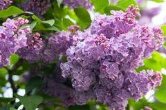Blommande lila för frodig knopp Royaltyfri Fotografi