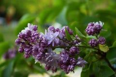 Blommande lila i en parkera Royaltyfri Bild