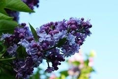 Blommande lila i en parkera Arkivbild