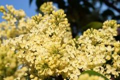 Blommande lila i en parkera Arkivbilder