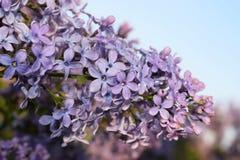 Blommande lila i en parkera Royaltyfria Foton