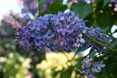 Blommande lila i en parkera Arkivfoto