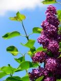 Blommande lila i lilor med gräsplansidor och blå himmel royaltyfri fotografi