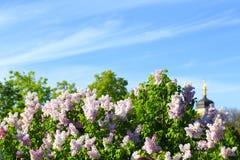 Blommande lila i vår Arkivfoton