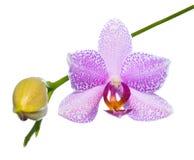 Blommande lila orkidé som isoleras på viten, bakgrund Arkivbild