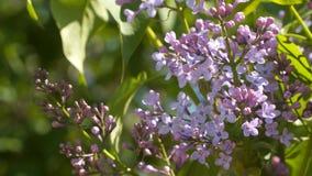 Blommande lila på en solig dag arkivfilmer