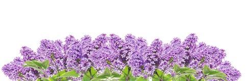 Blommande lilapanorama, baner som isoleras Fotografering för Bildbyråer