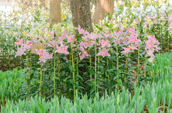 Blommande liljablomma i blommaträdgård Arkivbilder