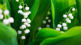 Blommande liljekonvalj Royaltyfria Bilder