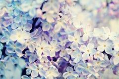 Blommande lilor. Royaltyfria Bilder