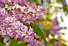Blommande lilor. Arkivfoto