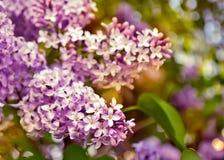 Blommande lilor. Arkivbilder